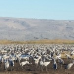Grus Cranes at Hula Valley