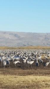Grus Cranes at Hula Valley