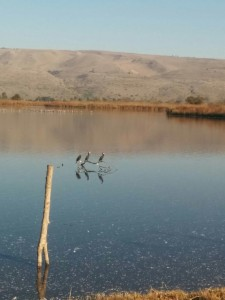 Birds relaxing by the water during their winter visit to Israel
