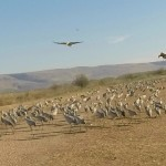 Grus Cranes enjoying the warmth of the Hula Valley