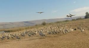 Grus Cranes enjoying the warmth of the Hula Valley