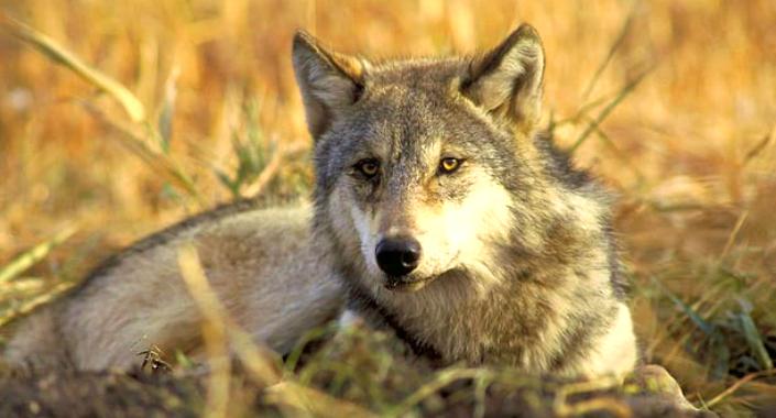 Wolf in Judean Desert